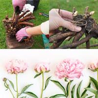Как выращивать пионы?